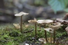 Funghi di galericulata di Mycena Fotografie Stock