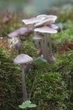 Funghi di galericulata di Mycena Fotografia Stock Libera da Diritti