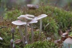 Funghi di galericulata di Mycena Immagini Stock