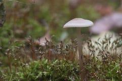 Funghi di galericulata di Mycena Immagini Stock Libere da Diritti