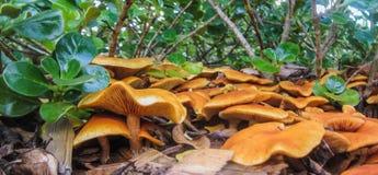 Funghi di gran numero Fotografie Stock Libere da Diritti