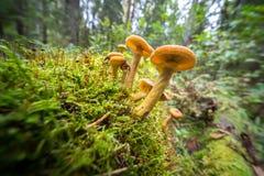 Funghi di Honey Agaric nella foresta di autunno Immagini Stock Libere da Diritti