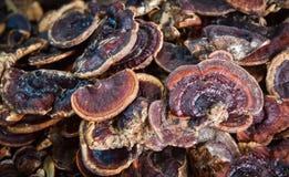 Funghi di Lingzhi Immagini Stock