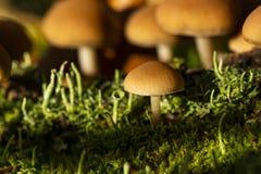 Funghi di mycena del fungo su un legno in un'erba verde Fuoco molle, bokeh Autum, luce del sole immagine stock