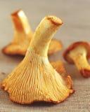 Funghi di ostrica immagini stock