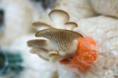 Funghi di ostrica Fotografia Stock Libera da Diritti