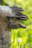 Funghi di ostrica coltivati Fotografie Stock