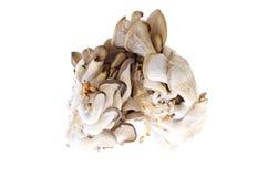 Funghi di ostrica commestibili su fondo bianco immagini stock libere da diritti