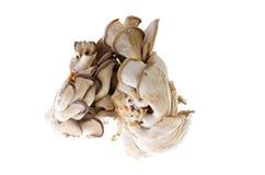 Funghi di ostrica commestibili su fondo bianco immagine stock libera da diritti