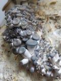 Funghi di ostrica del bambino Fotografia Stock
