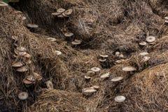 funghi di paglia Fotografie Stock Libere da Diritti