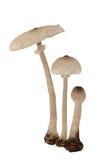 Funghi di parasole Fotografia Stock Libera da Diritti