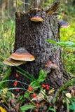 Funghi di Polypore su un vecchio ceppo Immagine Stock Libera da Diritti