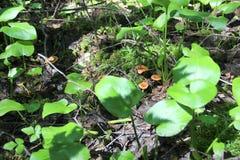 Funghi di rufus del Lactarius in foresta Fotografie Stock Libere da Diritti