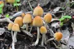 Funghi di saccharinus di Coprinellus, inkcap Fotografia Stock