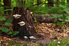 Funghi di scaffale bianchi Fotografia Stock Libera da Diritti