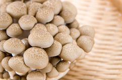Funghi di Shimeji del Buna Fotografia Stock