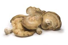 Funghi di Shitake Fotografia Stock