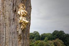 Funghi di sostegno che crescono su un albero morto immagini stock libere da diritti