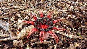 Funghi di Stinkhorn, rubra di Aseroe, rubicundus del fallo Fotografia Stock Libera da Diritti