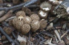 Funghi di striatus di Cyathus Immagine Stock Libera da Diritti