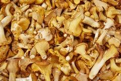Funghi e fondo del fungo Ambiente della natura di autunno Botani Fotografie Stock