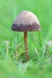 Funghi in erba Fotografia Stock