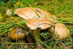 Funghi in foresta Immagini Stock