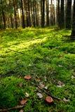 Funghi in foresta verde Immagini Stock