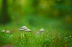 Funghi fragili nell'erba Immagini Stock Libere da Diritti
