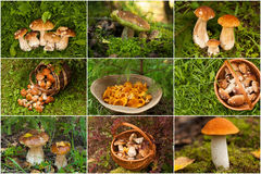 Funghi freschi commestibili selvaggi freschi Gollage Fotografia Stock