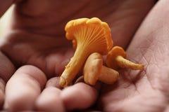Funghi freschi del galletto in mani teenager femminili Fotografia Stock Libera da Diritti