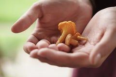 Funghi freschi del galletto in mani teenager femminili Immagine Stock