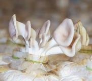 Funghi freschi in una scuola materna della pianta Immagini Stock Libere da Diritti