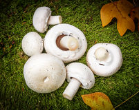 Funghi - funghi prataioli Fotografia Stock