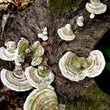 Funghi Funky, legno del Wildham Immagine Stock Libera da Diritti