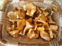 Funghi galetti Stock Photos