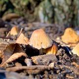 Funghi gialli Fotografia Stock Libera da Diritti