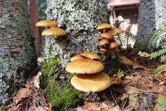 Funghi gialli che crescono dal lato di un albero di betulla fotografie stock