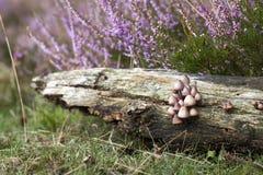 Funghi in Heatland Fotografia Stock Libera da Diritti