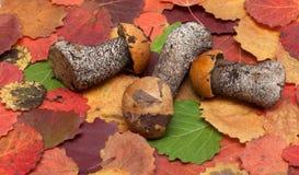 Funghi messi sullo strato di autunno Immagine Stock Libera da Diritti