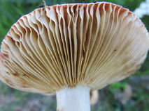 Funghi. Mushrooms and their nutritional properties but you have to be careful of the poisonous ones as in this case that they are not edible to the reddish head Royalty Free Stock Photo