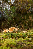 Funghi in natura Immagine Stock Libera da Diritti