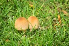 Funghi nell'erba Fotografia Stock