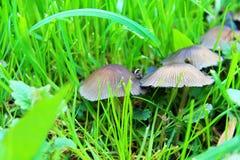 Funghi nell'erba Fotografia Stock Libera da Diritti