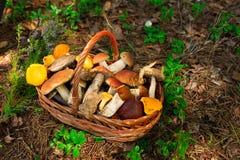 Funghi nella carta della foresta sull'autunno o sull'estate Boletus del raccolto della foresta, tremula, galletti, foglie, germog Fotografie Stock