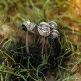 Funghi neri della tromba Fotografia Stock Libera da Diritti