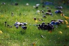 Funghi neri islandesi strani Immagini Stock