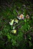 Funghi non commestibili fotografie stock libere da diritti