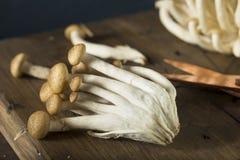 Funghi organici crudi del faggio di Brown Immagini Stock Libere da Diritti